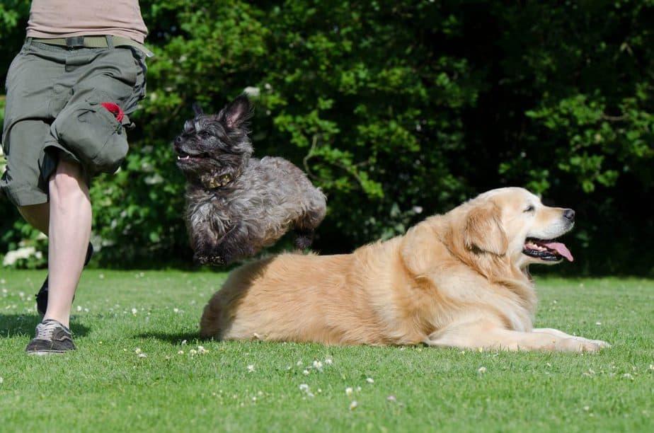 jumping black cairn terrier