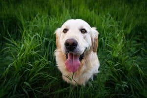 the giant golden retrievers faq