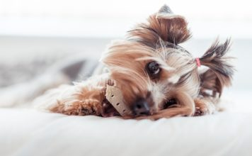 yorkshire terrier with two little pigtails