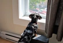 miniature dachshund looking outside on stairs