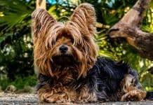 Yorkshire Terrier breed FAQ