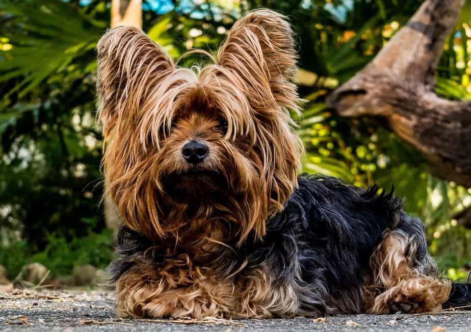 Yorkshire Terrier breed FAQ