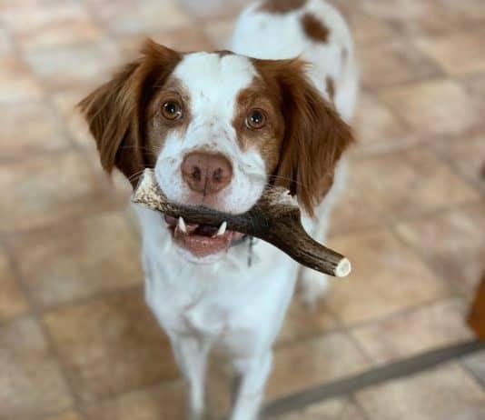 bois de cerf pour chiens