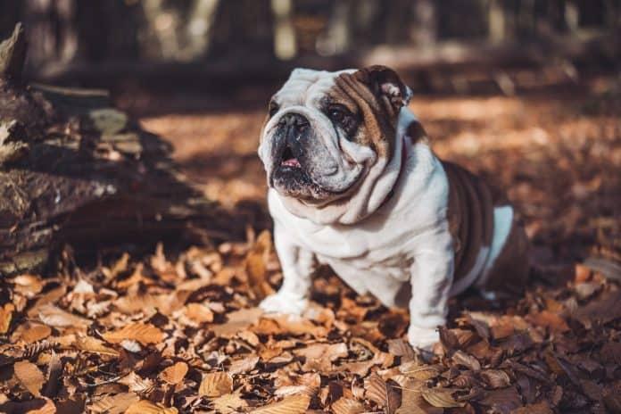 the bulldog faq