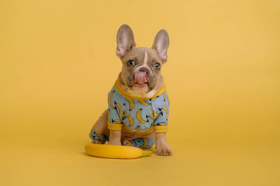 frenchies french bulldog faq