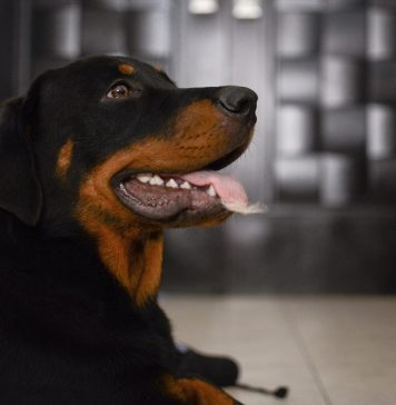 all rottweilers' breed questions