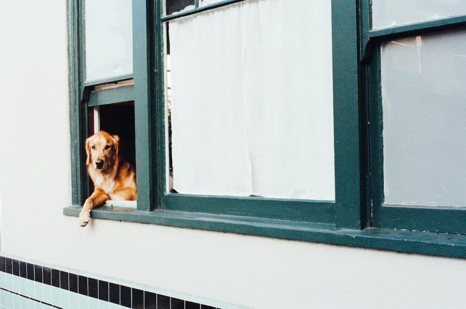 Golden Retriever looking from a window