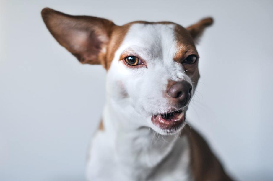 Dog with flea problem