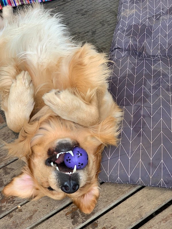 Golden Retriever playing with a ball