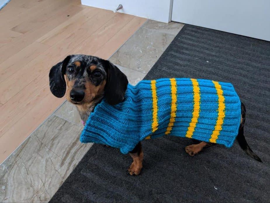 Daschung Dog in a Blue Sweater